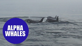 Maller killer whales 'can die of loneliness' - Video
