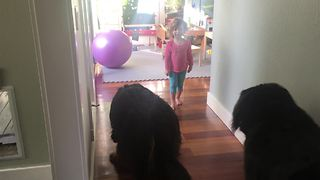 Little girl trains massive Bernese Mountain Dogs - Video