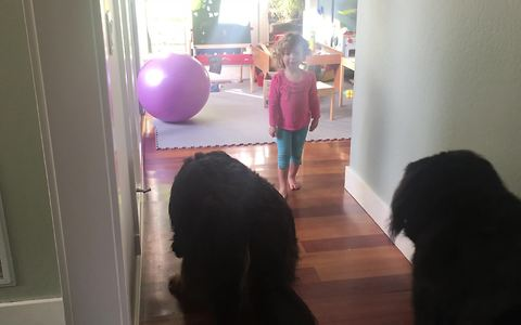 Little girl trains massive Bernese Mountain Dogs