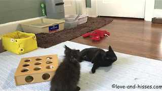 Pair of Playful Kittens Show Each Other Who's Boss - Video