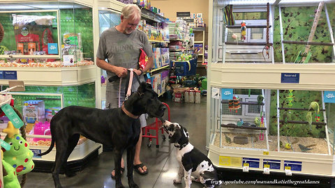 Great Danes enjoy their first visit to the pet store