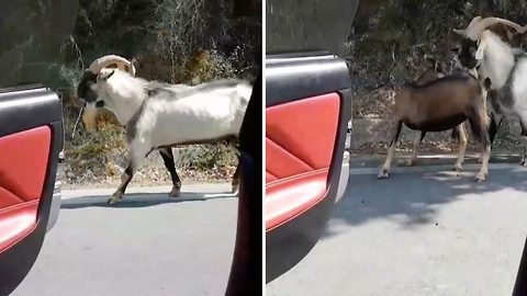Goatie do you love me? Hilarious moment goat takes part in kiki challenge