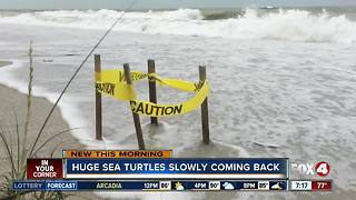 Sea turtles making comeback - Video