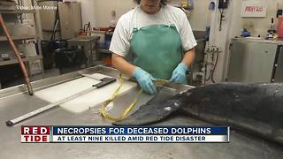 9 bottlenose dolphins found dead in Sarasota County in 36-hours - Video