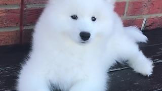 Samoyed puppy has mind blown by squawking birds