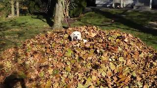 Dog Completely Disappears in Giant Pile of Leaves