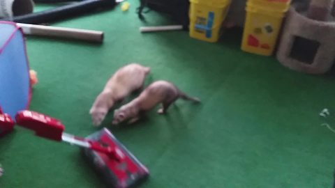 These Funny Ferrets Are Obsessed With A Vacuum