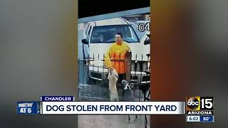 Dog stolen from front yard in Chandler - Video