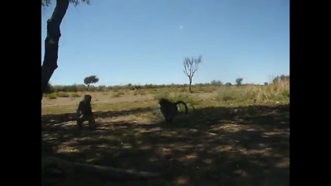 Playful baby baboons