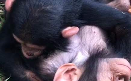 Infant Chimpanzees Sleep Where They Drop, Cuddled Into Each Other