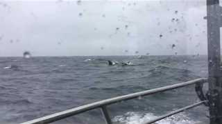 Orca Whales Steal Alaskan Halibut Fisherman's Catches - Video