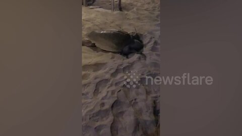 Sea turtle casually interrupts beach party to lay her eggs in the sand in Bali