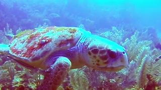 Massive sea turtle wows dive master - Video