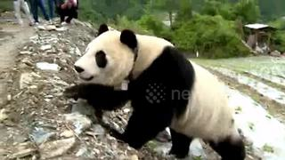 Giant panda wanders into Chinese village - Video