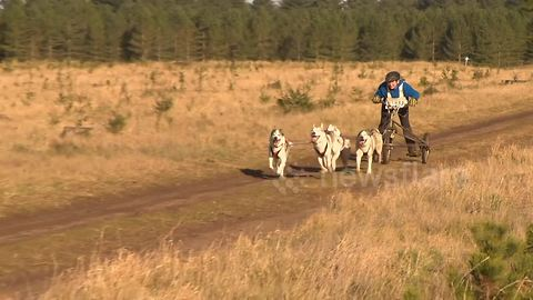 Who let the dogs out! Welcome to the British Siberian husky racing championships