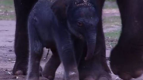 Tiny Asian Elephant Calf Born at Dubbo Zoo