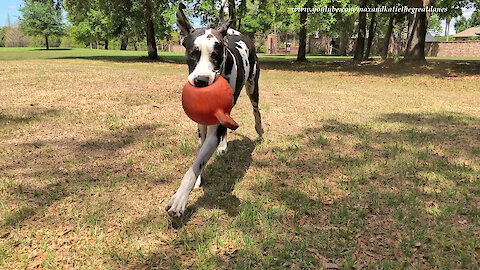 Funny Great Dane And His Jolly Balls Will Make You Smile