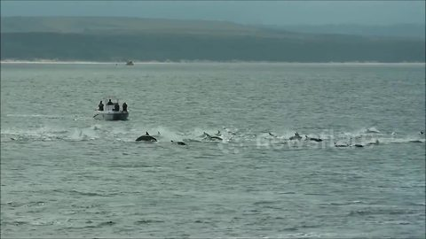 Panicked dolphins swim in a frenzy to avoid killer whale attack