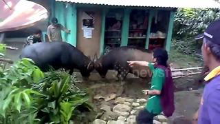 Terrified residents intervene after two buffalo start fight in middle of village