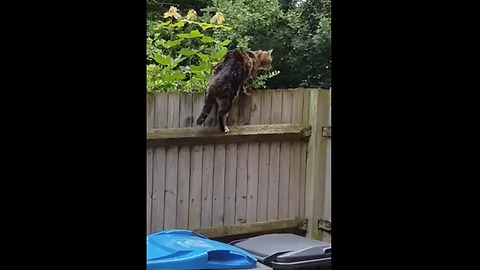 Cat awkwardly tries to scale backyard fence