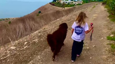 Little girls walks with her bestie - a giant Newfoundland