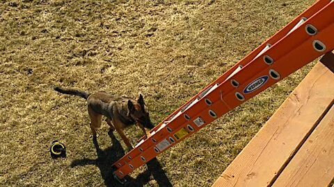 Puppy escapes fenced yard by climbing ladder