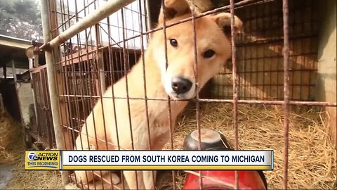 Dogs rescued from canine meat farm in South Korea coming to Michigan