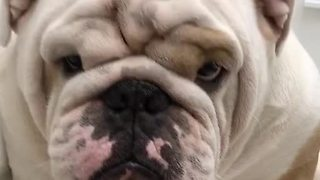 Bulldog refuses to give owner his paw - Video