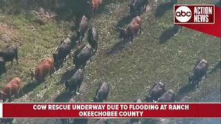 Cow rescue underway due to flooding at ranch in Okeechobee County - Video
