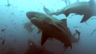 Diver Swims Surrounded by Sharks in Fiji