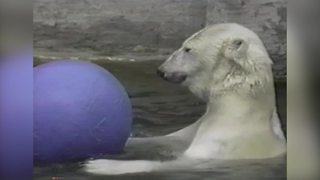 Polar Bear Having Fun with A Bouncing Ball