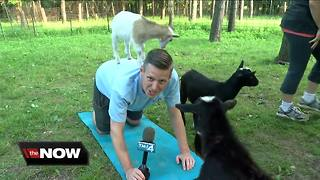Goats love TODAY'S TMJ4's Shaun Gallagher - Video