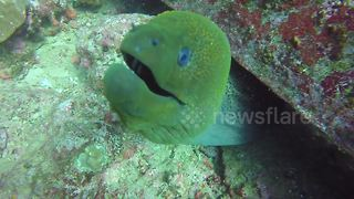 Cheeky green moray eel comes in for a kiss with the camera - Video