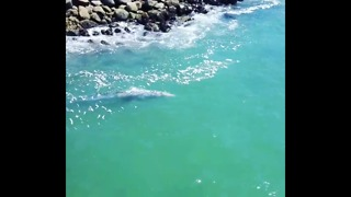 Juvenile Whale Swims in Carlsbad Lagoon's Shallow Waters - Video