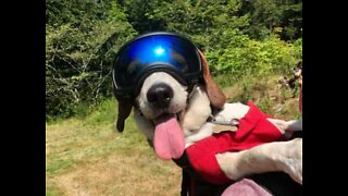 Dog swaps walkies for wheelies while cycling with owner