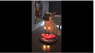 Birthday dog celebrates with steak cake - Video