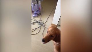 Golden Retriever Faces His Fear Of Mr. Vacuum - Video
