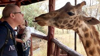 Pucker up: Giraffe gives tourist messy kiss as he plucks pellets from between his lips - Video