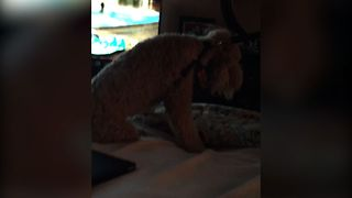 Puppy Refuses To Leave Bed For A Walk - Video