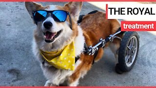 Corgi with spine problems has specialised wheelchair
