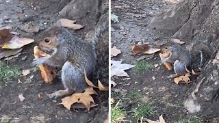 Stealthy slice! Video shows squirrel eating pizza