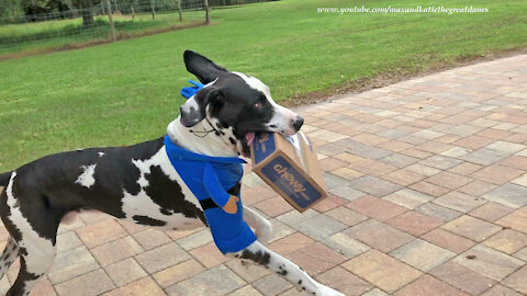 Great Danes Have Fun Working In Their Delivery Dogs Halloween Costumes