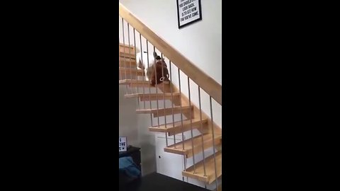 Pup Adorably Carries Favorite Pillow Down The Stairs