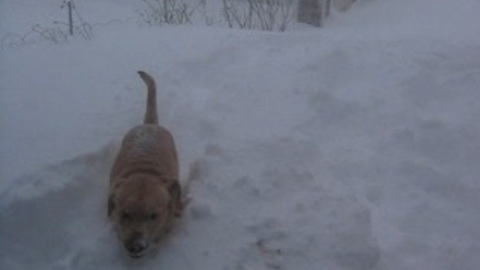 Dog plays fetch in deep snow