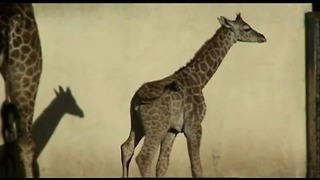 Baby Giraffe Born In Bueno Aires - Video