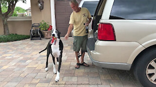 Great Danes help their owner carry in the groceries