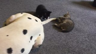 Kittens use Dalmatian's tail as new chew toy - Video