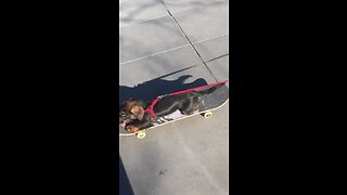Skateboarding Dachshund Puppy Shows Off Impressive Skills In Paris Square
