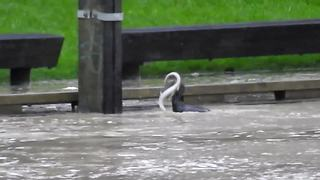 Bird catches massive eels during New Zealand flooding - Video