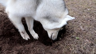 HUSKY WANTS TO PLAY WITH CHIPMUNK  - Video